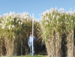 Miscanthus New Zealand managing director Peter Brown with a three-metre ruler in a stand of giant miscanthus grass.