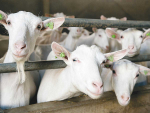 Eradication of Peste des petits ruminants disease in sight