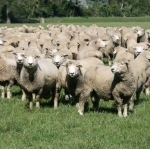 Genotyping chip a milestone for sheep industry