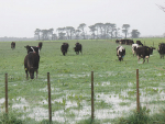Sodden pastures could become a major feed issue for many lower North Island farmers even after the rain stops and growing conditions improve.
