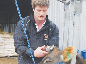 Luke Gilbert clips the topknot of a 10-month old heifer on the family stud, Glenalla, near Winchmore in Mid-Canterbury.