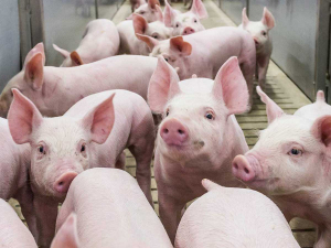 US farmers say without government assistance, pigs may soon need to be culled on farms as there will be no room for them in pork plants.
