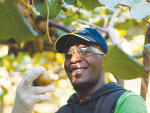 The RSE scheme enables workers from the Pacific to come to NZ for six or seven months for harvest and pruning.