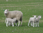Supplements needed for multi-lamb ewes